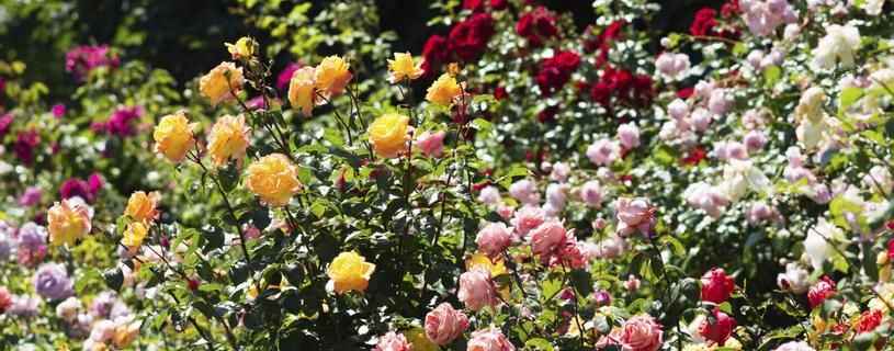 rozenbescherming